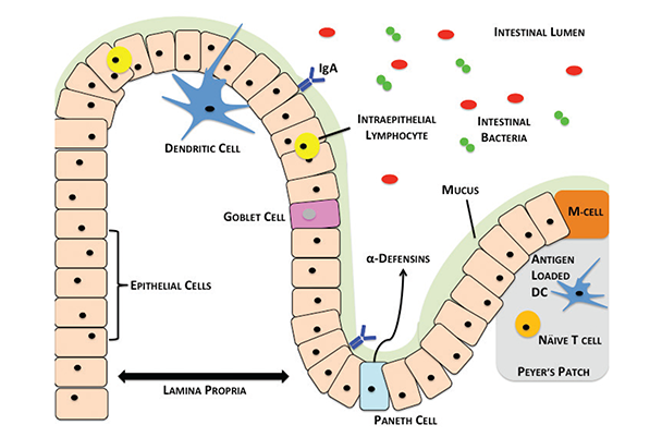 Overview of the intestinal barrier, immune cells, and microbiome.