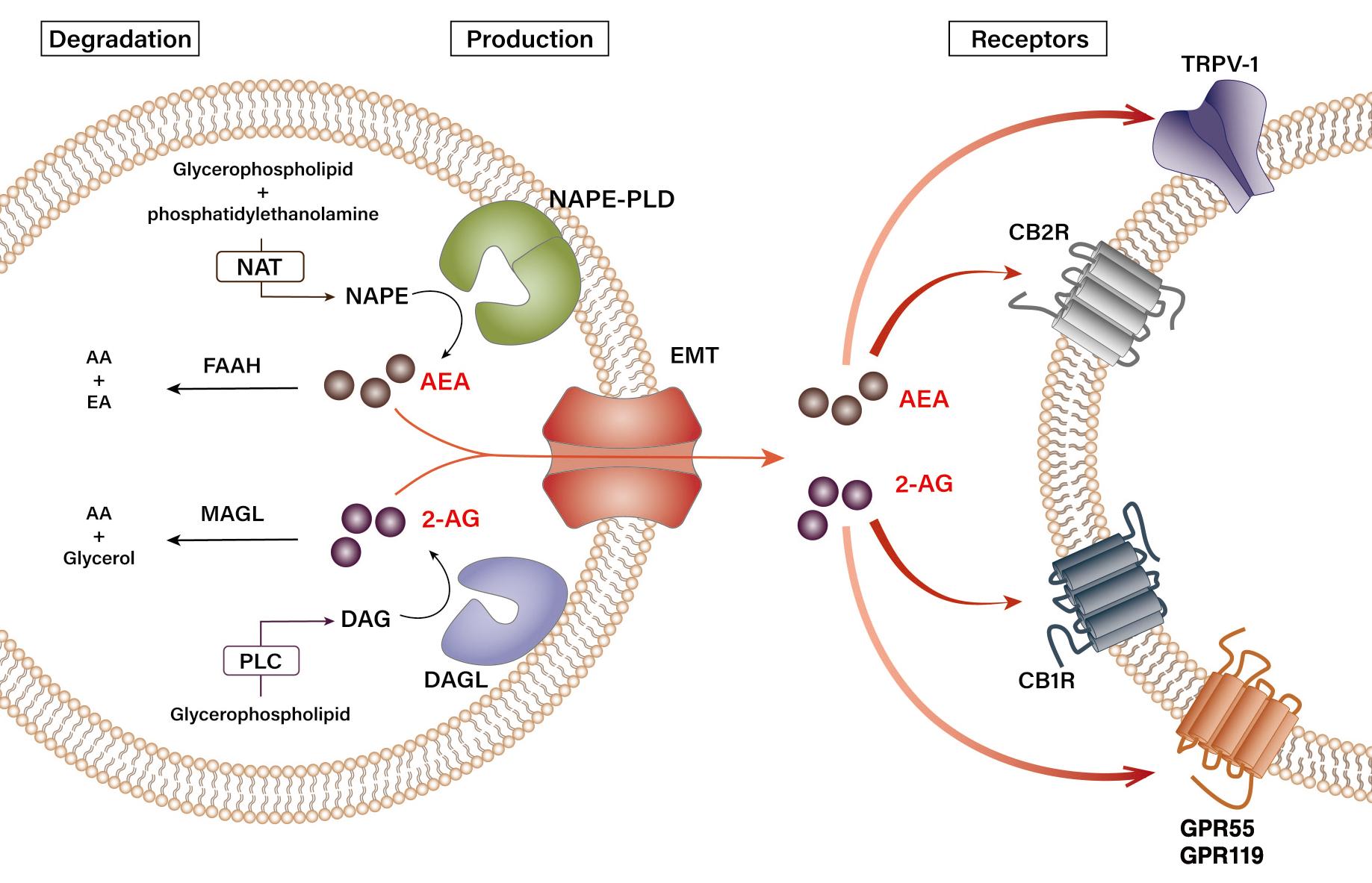 Biosynthesis and degradation pathways of endocannabinoids.
