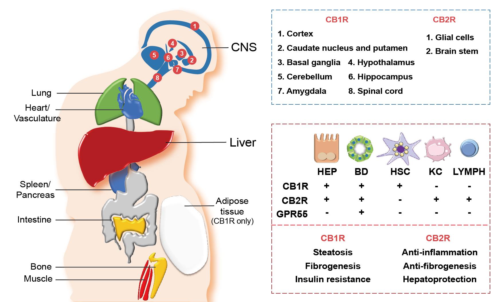 Distribution of cannabinoid receptors in various organs and hepatic cells.